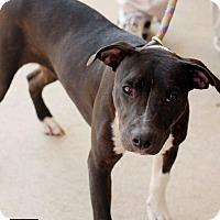 Adopt A Pet :: Oreo - Fredericksburg, VA