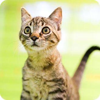 Domestic Shorthair Kitten for adoption in Austin, Texas - Valerie