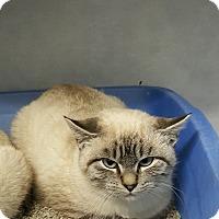 Siamese Kitten for adoption in Cody, Wyoming - Cinder