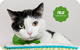 Domestic Shorthair Cat for adoption in Wyandotte, Michigan - Felix (in foster care)