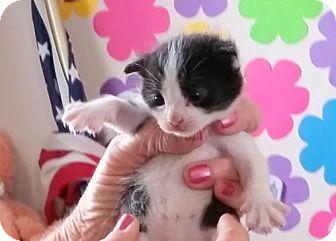 Domestic Mediumhair Cat for adoption in Lemoore, California - Pecan