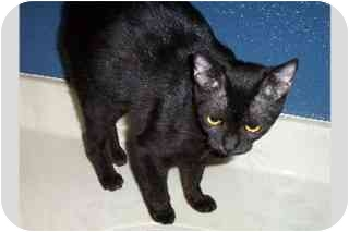 Domestic Shorthair Cat for adoption in Tempe, Arizona - Mary & Madonna