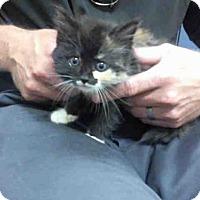Adopt A Pet :: MUFFIN - Pittsburgh, PA