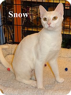 Domestic Shorthair Cat for adoption in Bentonville, Arkansas - Snow