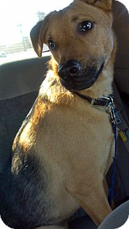 Shepherd (Unknown Type) Mix Dog for adoption in Phoenix, Arizona - Cisco