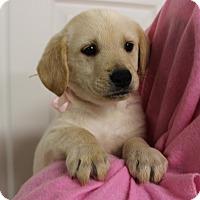 Adopt A Pet :: Bangle - Brattleboro, VT