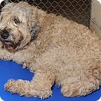 Adopt A Pet :: Abigail in NC - North Kansas City, MO