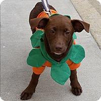 Adopt A Pet :: Madison - Richmond, VA
