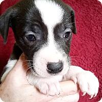 Adopt A Pet :: Joanie - Cincinnati, OH