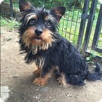 Adopt A Pet :: Oso - Bernardston, MA