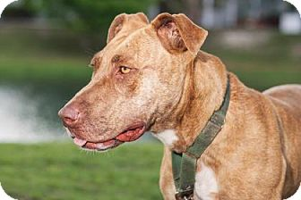 Catahoula Leopard Dog Mix Dog for adoption in Loxahatchee, Florida - Phoebe