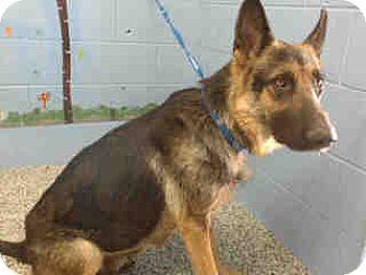 German Shepherd Dog Dog for adoption in San Bernardino, California - URGENT ON 10/8  San Bernardino