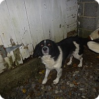 Border Collie Mix Dog for adoption in Glastonbury, Connecticut - Kyna