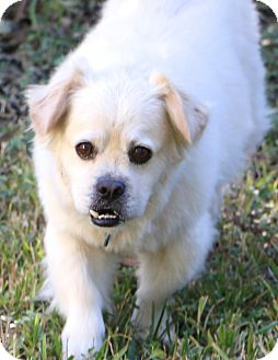 Tibetan Spaniel Mix Dog for adoption in Woonsocket, Rhode Island - Buckwheat..meet me