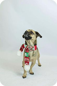 Pug Mix Dog for adoption in Murphysboro, Illinois - Bevis
