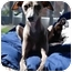 Photo 1 - Italian Greyhound Dog for adoption in Portland, Oregon - Bella