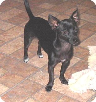 Chihuahua Mix Puppy for adoption in Phoenix, Arizona - Spike