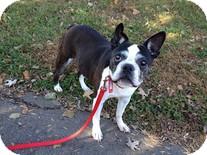 Boston Terrier Dog for adoption in Wilmington, Massachusetts - Aggie