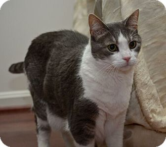 Domestic Shorthair Cat for adoption in Reston, Virginia - Carrie
