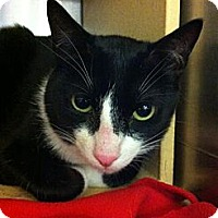 Domestic Shorthair Cat for adoption in Fairfax Station, Virginia - DeeDee