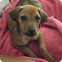 Adopt A Pet :: Gizmo - Pointblank, TX