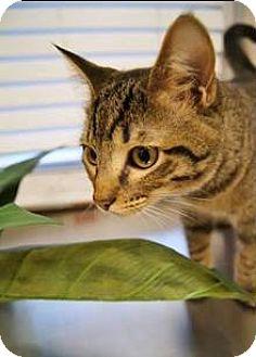 Domestic Mediumhair Cat for adoption in Dallas, Texas - Cash