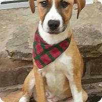Adopt A Pet :: Callie meet me 11/20 - East Hartford, CT