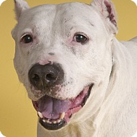 Adopt A Pet :: Mr. Belvedere - Chicago, IL