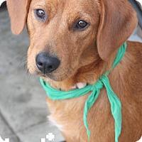 Adopt A Pet :: Blossom - Washington, DC