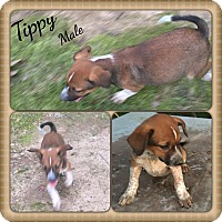 Adopt A Pet :: Tippy Adoption pending - Manchester, CT