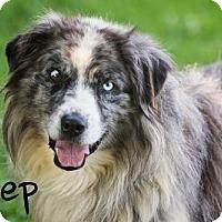 Adopt A Pet :: Shep - Joliet, IL