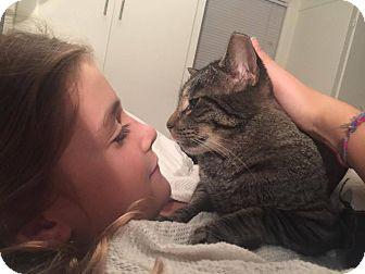 Domestic Shorthair Cat for adoption in Libertyville, Illinois - Bob