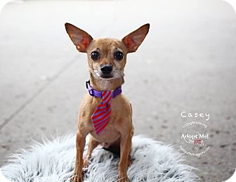 Chihuahua Dog for adoption in Shawnee Mission, Kansas - Casey