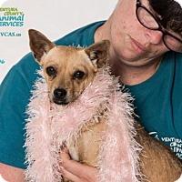 Adopt A Pet :: A651306 - Camarillo, CA