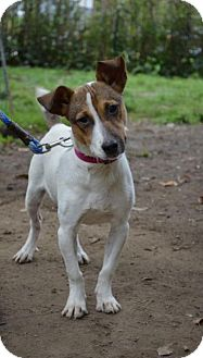 Jack Russell Terrier Mix Dog for adoption in Danbury, Connecticut - Miley