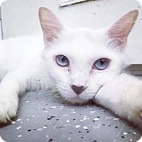 Turkish Angora Cat for adoption in Phoenix, Arizona - Tammy