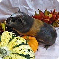 Adopt A Pet :: Gretel - Alexandria, VA