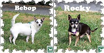 Chihuahua Mix Dog for adoption in Fallston, Maryland - Bebop & Rocky
