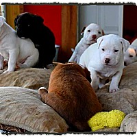 Adopt A Pet :: Jade Puppies - Johnson City, TX