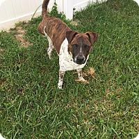 Adopt A Pet :: Valor - Orlando, FL