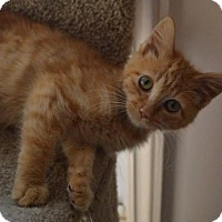 Adopt A Pet :: C28 Litter-Pumpkin Spice-ADOPTION PENDING - Livonia, MI