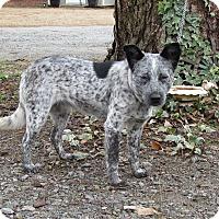 Adopt A Pet :: DEJA BLUE - Bedminster, NJ