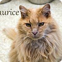Adopt A Pet :: Maurice - Hamilton, MT