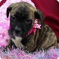 Adopt A Pet :: Tayla - Hartford, CT
