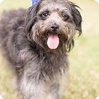 Adopt A Pet :: Dandy - Seattle, WA