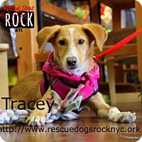 Beagle Mix Dog for adoption in New York, New York - Tracy