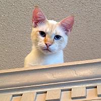 Siamese Cat for adoption in Alvin, Texas - Mario