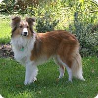 Adopt A Pet :: Sunny (Adoption Pending - Mission, KS