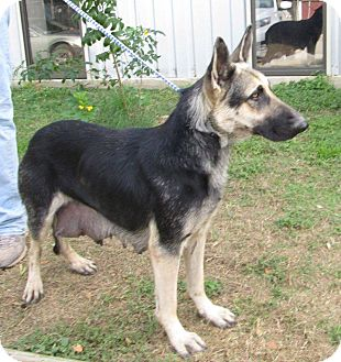 German Shepherd Dog Dog for adoption in SAN ANTONIO, Texas - KRISSY