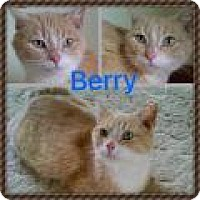 Domestic Shorthair Cat for adoption in Shelbyville, Kentucky - Berry